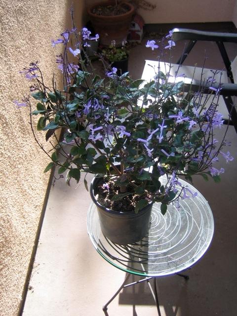 plantamalthea